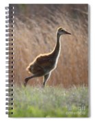 Juvenile Sandhill In The Marsh Spiral Notebook