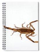 Lesser Brown Scorpion Spiral Notebook