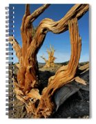 Looking Through A Bristlecone Pine Spiral Notebook