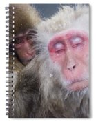 Older Snow Monkey Being Groomed By A Spiral Notebook
