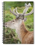 Young Red Deer Spiral Notebook