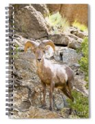 Bighorn Sheep In The San Isabel National Forest Spiral Notebook