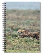 Cheetah Acinonyx Jubatus Hunting Spiral Notebook