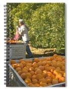 Harvesting Navel Oranges Spiral Notebook