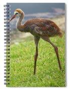 Sweet Juvenile Sandhill Crane Spiral Notebook
