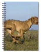Wirehaired Vizsla Running Spiral Notebook