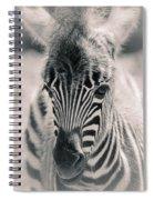 Zebra Colt In Spring Spiral Notebook