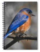Male Eastern Bluebird Spiral Notebook
