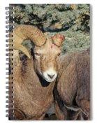After The Rut Bighorn Sheep Spiral Notebook