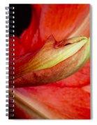 Amaryllis Flower About To Bloom Spiral Notebook