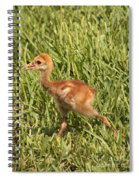 Baby Sandhill Crane Spiral Notebook