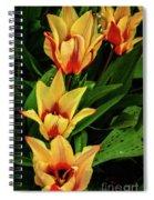 Beautiful Bicolor Tulips Spiral Notebook