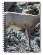 Bighorn Sheep Lamb Spiral Notebook