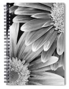 Black And White Gerber Daisies 3 Spiral Notebook