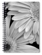 Black And White Gerbera Daisies 1 Spiral Notebook
