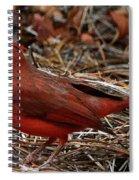 Cardinal On Pine Straw Spiral Notebook
