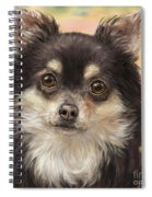 Cute Furry Brown And White Chihuahua On Orange Background Spiral Notebook