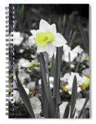 Dallas Daffodils 54 Spiral Notebook