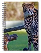Dubbo Zoo Queen - King Cheetah And Cub Spiral Notebook