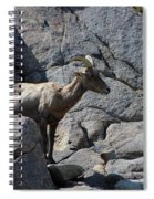 Ewe Bighorn Sheep Spiral Notebook