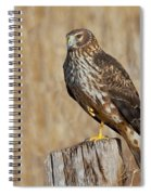 Female Northern Harrier Standing On One Leg Spiral Notebook