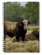 Florida Cracker Cows #4 Spiral Notebook