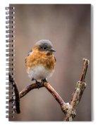 Gazing Eastern Bluebird Spiral Notebook