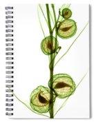 Milkweed, Gomphocarpus Physocarpus Spiral Notebook