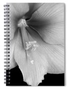 Orange Amaryllis Hippeastrum Bloom 12-29-10 Bw Spiral Notebook