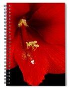 Orange Amaryllis Hippeastrum Bloom 12-29-10 Spiral Notebook