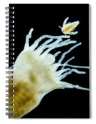 Polyp Of A. Aurita Jellyfish, Lm Spiral Notebook