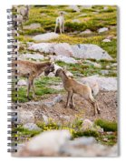 Practicing Baby Bighorn Sheep On Mount Evans Colorado Spiral Notebook