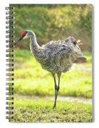 Primping Sandhill Crane Spiral Notebook