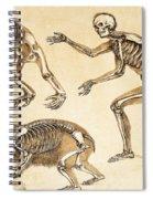 Skeletons Of Man, Ape, Bear, 1860 Spiral Notebook