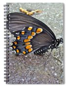 Spicebush Swallowtail Butterfly Female - Papilio Troilus Troilus Spiral Notebook