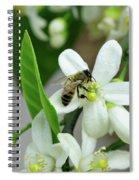 Spring Honey Bee Pollinates Orange Citrus Flower Spiral Notebook