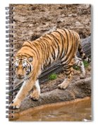 Stalking Tiger - Bengal Spiral Notebook