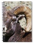 Taunting Bighorn Spiral Notebook