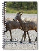 Two Female Longhorn Sheep Spiral Notebook