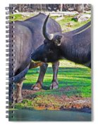 Watching 2 Water Buffalos 1 Water Buffalo Watching Me Spiral Notebook