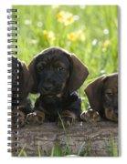 Wire-haired Dachshund Puppies Spiral Notebook