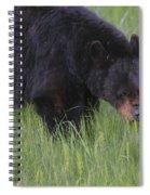 Yellowstone Black Bear Grazing Spiral Notebook