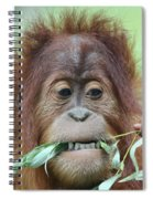A Close Portrait Of A Young Orangutan Eating Leaves Spiral Notebook