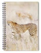 A Pair Of Cheetahs Move Steathily Through The Long Grass Of The  Spiral Notebook