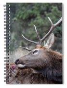 Bull Elk Grooms Himself Spiral Notebook