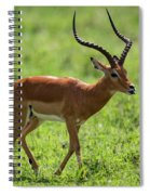 Male Impala Crossing Grassland With Tongue Out Spiral Notebook