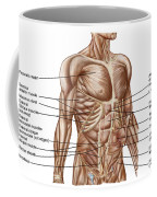 Anatomy Of Human Abdominal Muscles Coffee Mug