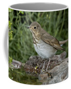 Swainsons Thrush Coffee Mug