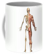 The Human Skeleton And Muscular System Coffee Mug