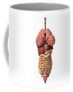 3d Rendering Of Healthy Female Internal Coffee Mug
